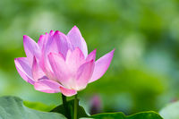 lotus flowers bloom