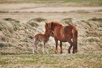 Horse feeding its offspring