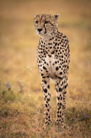 Cheetah stands in grassy plain looking forwards
