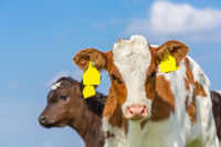 Portrait of two newborn calves with blue sky