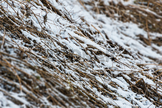 Grass with snow in winter