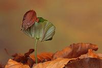 Rotbuchen Keimling (Fagus sylvatica)