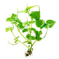 Peperomia Pellucida plant