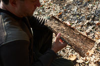Förster hält Baumrinde bei der Schädlingskontrolle