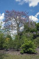 Blauglockenbaum (Paulownia tomentosa)