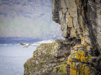 Seagull landing on the cliffs of moher