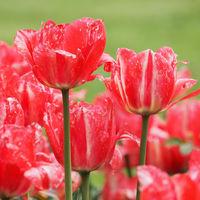 Viele Tulpenblüten in rot und weiß