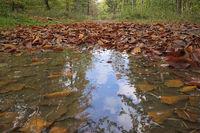 Deister - Waldweg mit Herbstlaub und Pfütze, Deutschland