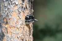 Black Backed Woodpecker is feeding his young,Canada