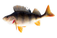 River perch isolated