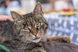 Portrait graue Hauskatze - krallt sich fest