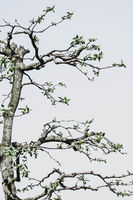detail of pruned quince tree