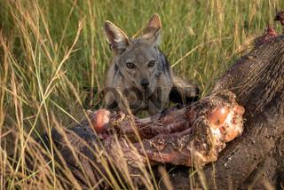 Black-backed jackal crouches by carcase scanning horizon