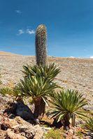giant Lobelia in Bale Mountain