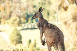 Australian native kangaroo in rural bushland