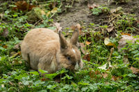 A brown rabbit on the green meadow
