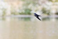 in schnellem Flug... Rauchschwalbe * Hirundo rustica * über einem See