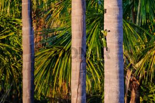 A couple of Red-bellied Macaw, Orthopsittaca Manilata, Lagoa das Araras, Bom Jardim, Nobres, Mato Grosso, Brazil