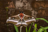 Giant Madagascar emperor moth