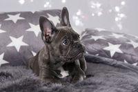 French bulldog puppy on grey background