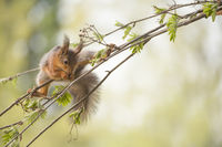 red squirrel in a split on a rowan berry branch