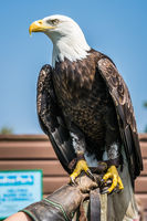 Bald eagle sitting on a trainer hand