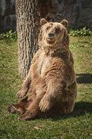 Brown bear on the green grass