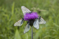 Baum-Weissling, Aporia crataegi, black-veined white