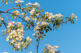 Spring blossoms of blooming apple tree in springtime.А flower of apple tree, close-up shot at sunset