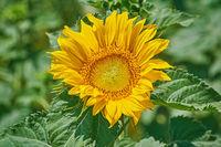 Sunflower against Green