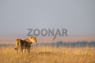 Lioness stands in long grass looking right