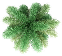 foxtail palm tree isolated on white background. top view. 3d illustration
