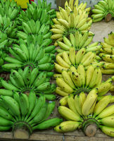 Bananas - green and yellow bananas lined up side by side