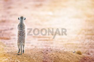 Erdmaennchen blickt in die Sonne, Kgalagadi-Transfrontier-Nationalpark, Südafrika, (Suricata suricatta) | Meerkat looking at the sun, Kgalagadi Transfrontier National Park, South Africa, (Suricata suricatta)
