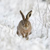 Begegnung im Feld... Feldhase * Lepus europaeus * in verschneiter Landschaft
