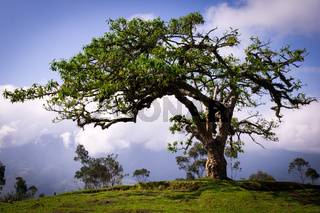 El Lechero, a sacred tree of a local mythology in Otavalo, Ecuador