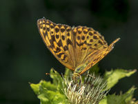 Kaisermantel 'Argynnis paphia' weiblich