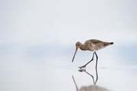 black tailed godwit closeup