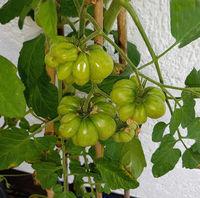 Reisetomate, Tomate, Lycopersicon, esculentum