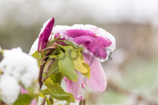Magnolia flowers covered with snow. Flower Magnolia. Tree Magnolia covered with snow in the spring.