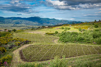 Vineyard of the mount Etna in Sicily, italy