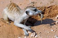 Erdmaennchen frisst Skorpion, Kgalagadi-Transfrontier-Nationalpark, Südafrika, (Suricata suricatta) | Meerkat eats a scorpion, Kgalagadi Transfrontier National Park, South Africa, (Suricata suricatta)