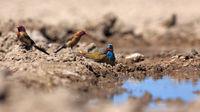 Buntastrild, Angola-Schmetterlingsfink und Granatastrild