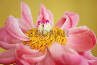 Peony Flower Stamen