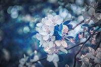Beautiful sakura flower cherry blossom background. Greeting card template. Shallow depth. Soft dark blue toned. Spring magic nature