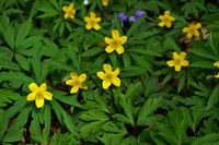 Gelbes Windröschen, Anemone ranunculoides, buttercup anemone