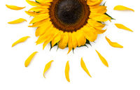Sunflower Concept Isolated on White Background