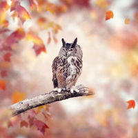 Great Horned Owl in the autumn woods