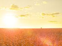 Wheat field at summer sunset
