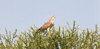 Pale Chanting Goshawk, Kalahari